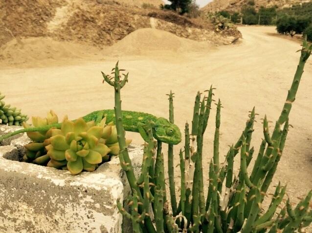 Un camaleonte nel Parco Naturale Cabo de Gata-Níjar (grazie per la foto Cristina – @misspeluca).