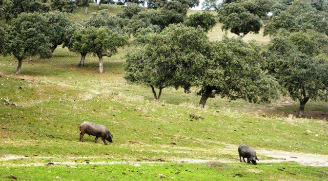 Un paesaggio unico al mondo: la dehesa de Los Pedroches