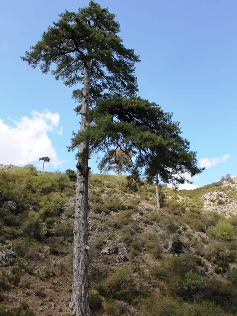 Sierra_segura_natura_pino_galapan