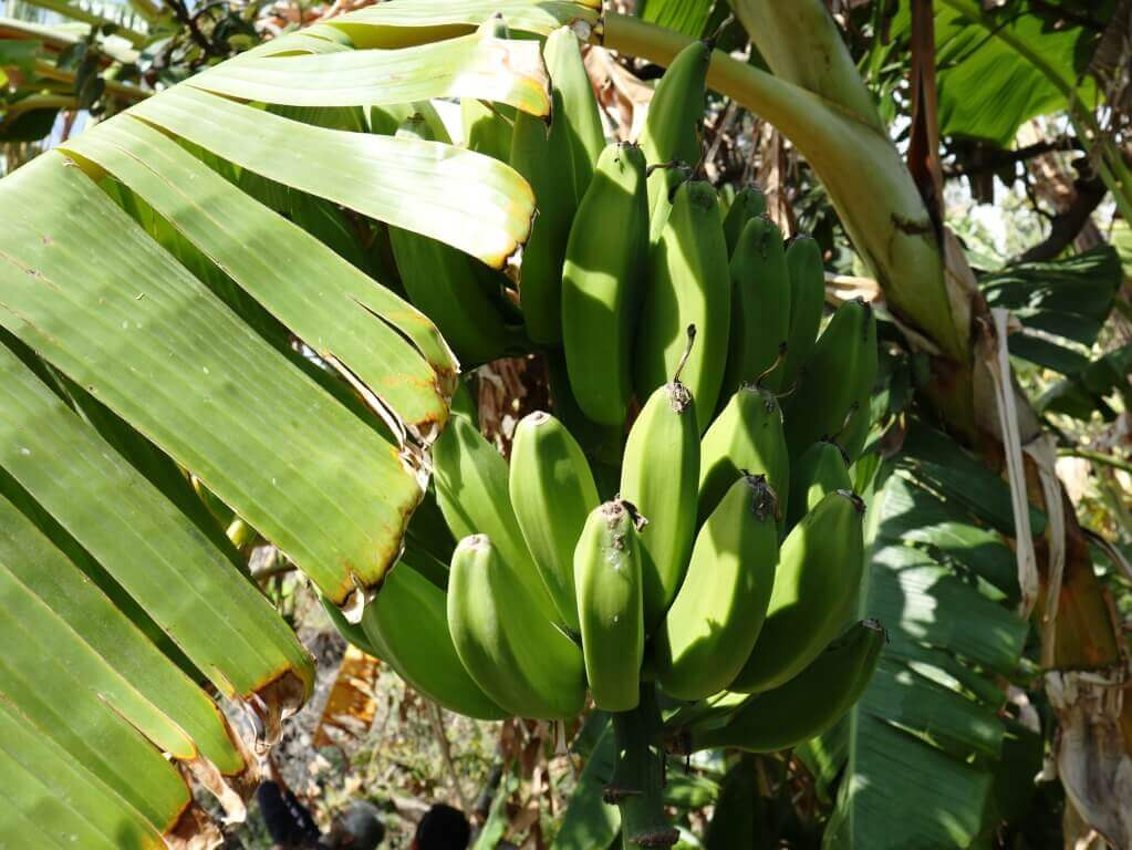 salobrena_cosa _vedere_banana